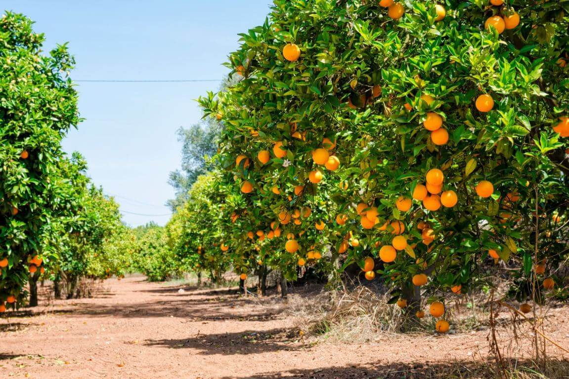 Algarve fruit: oranges