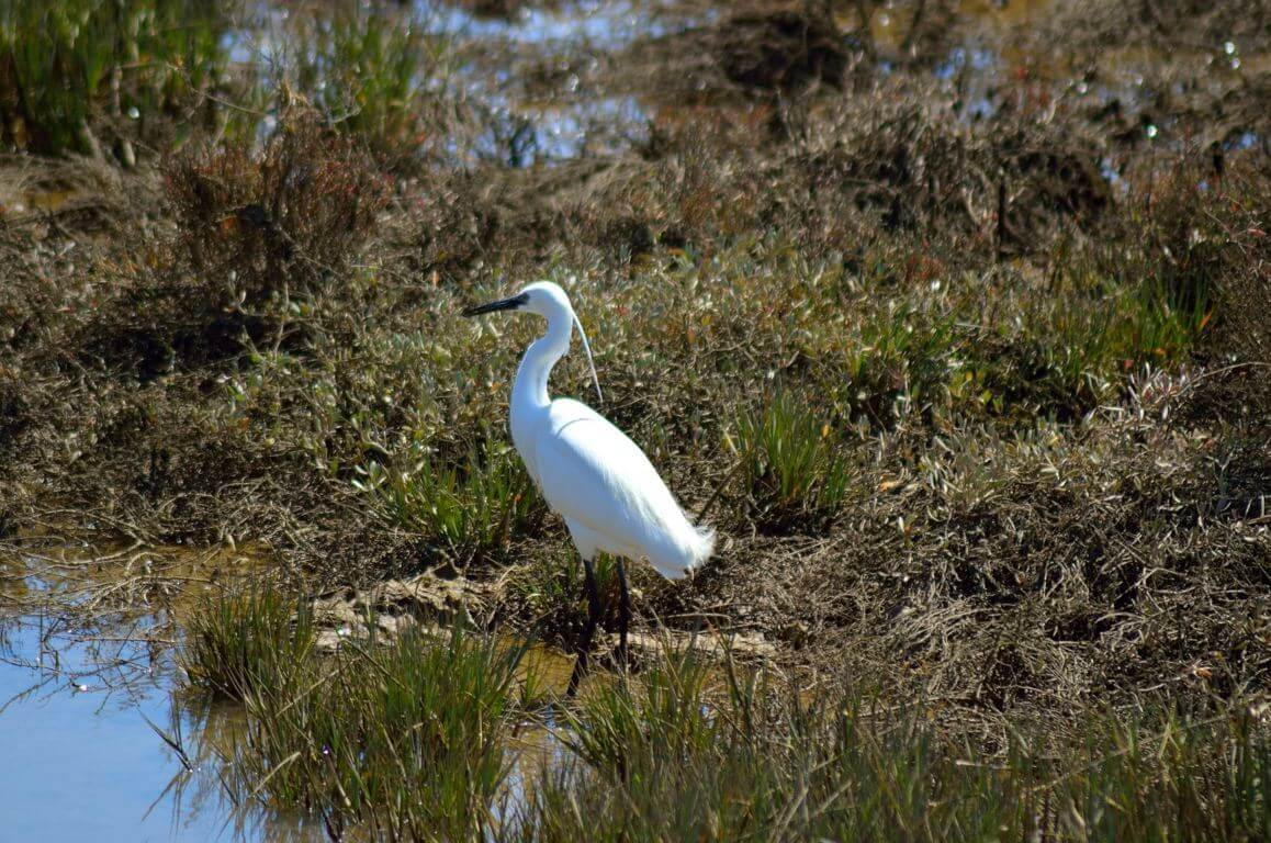 White heron near the water