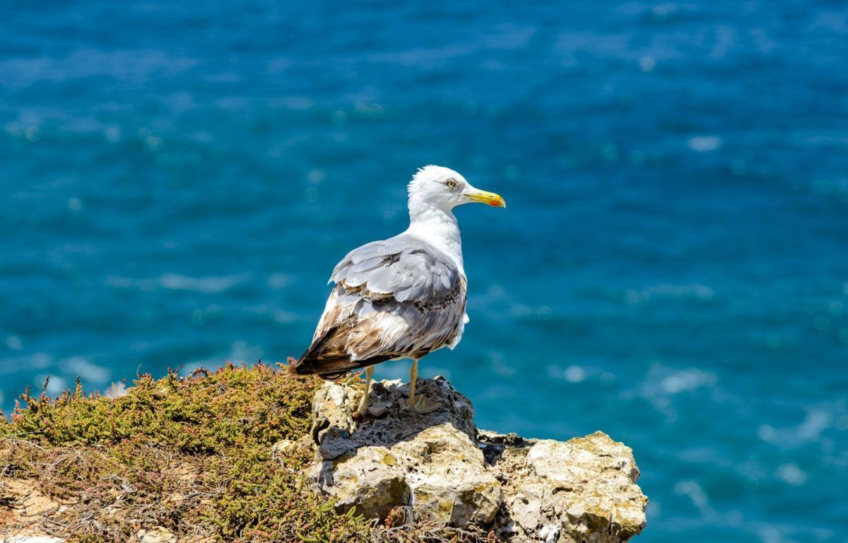 Yellow-legged gull near Sagres