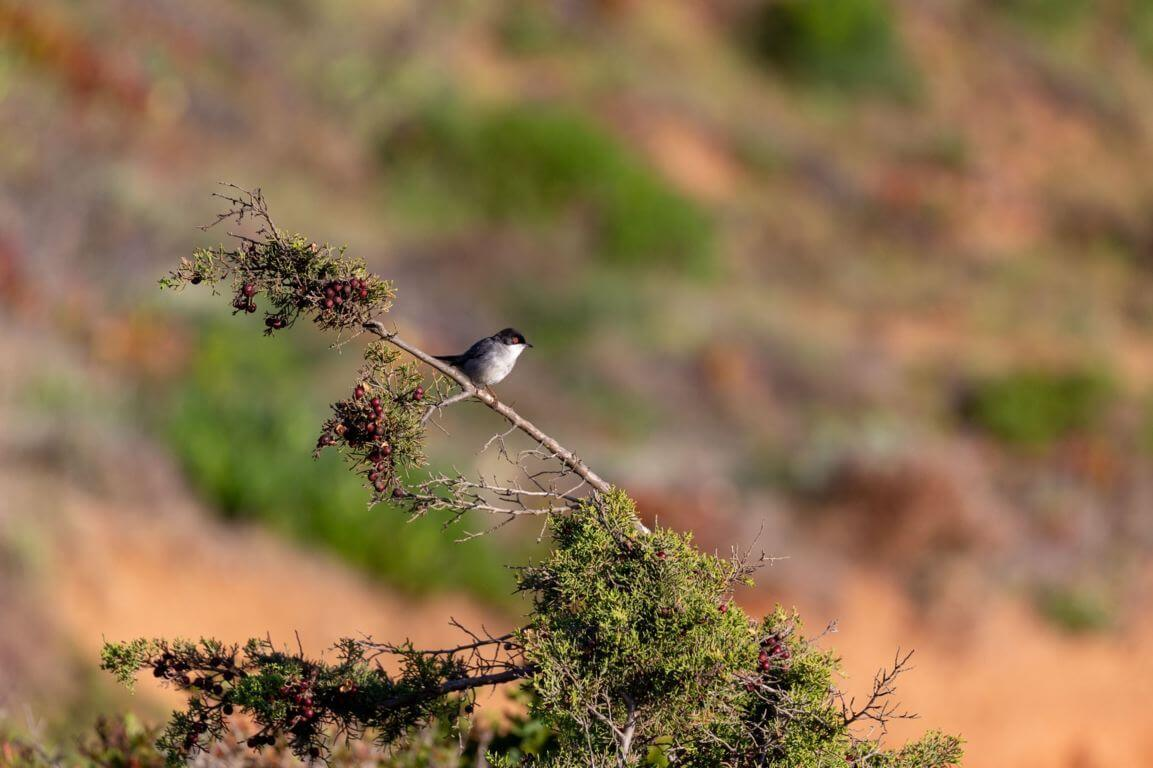 Sardinian Warbler in the Costa Vicentina natural park