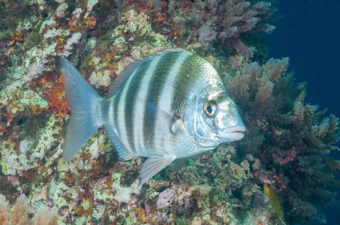 Zebra sea bream