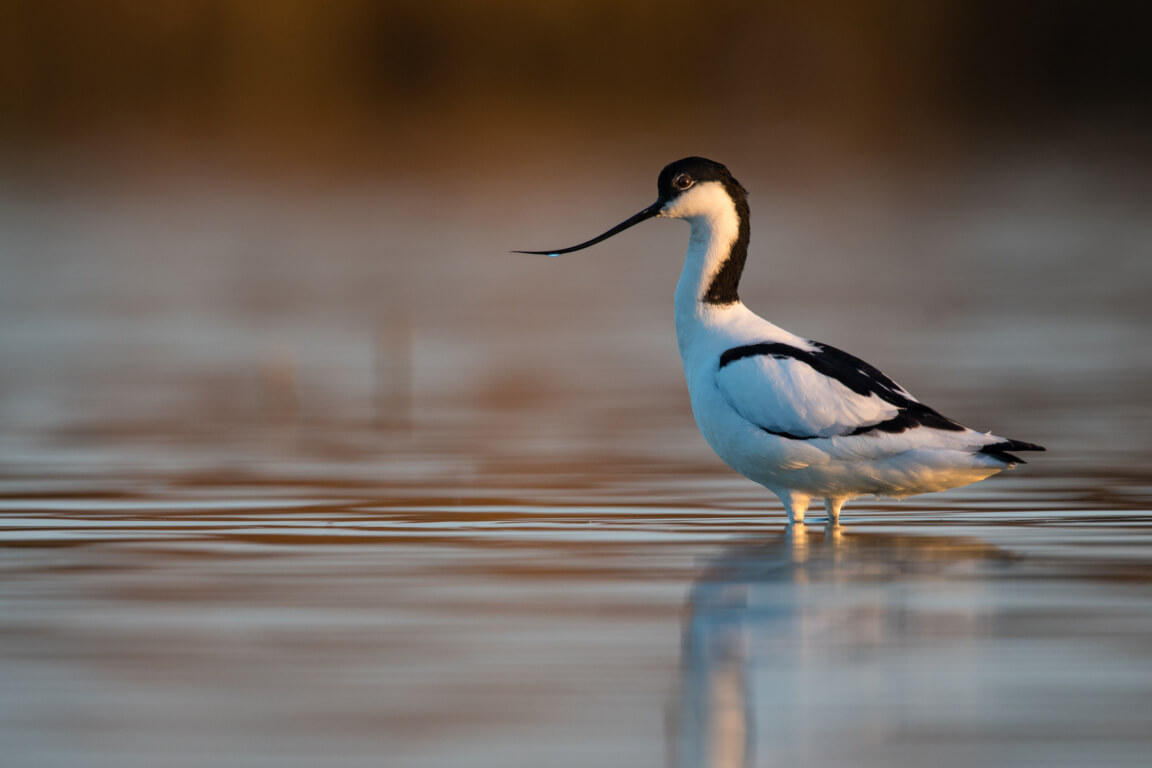 Pied avocet at Salgados nature reserve