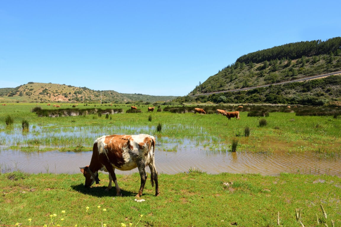 Cows grazing on the banks of the Ribeira de Budens river