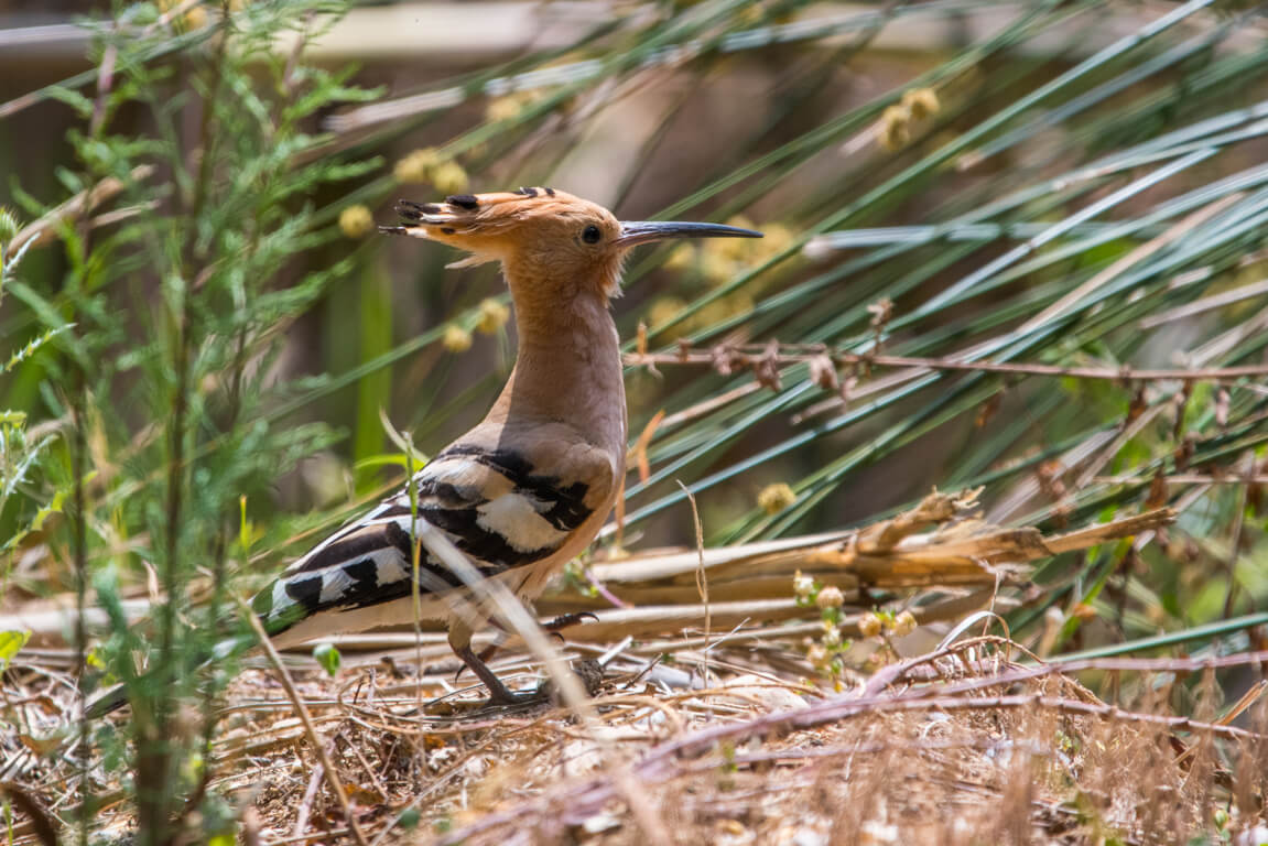 Hoopoe in Ria Formosa natural park