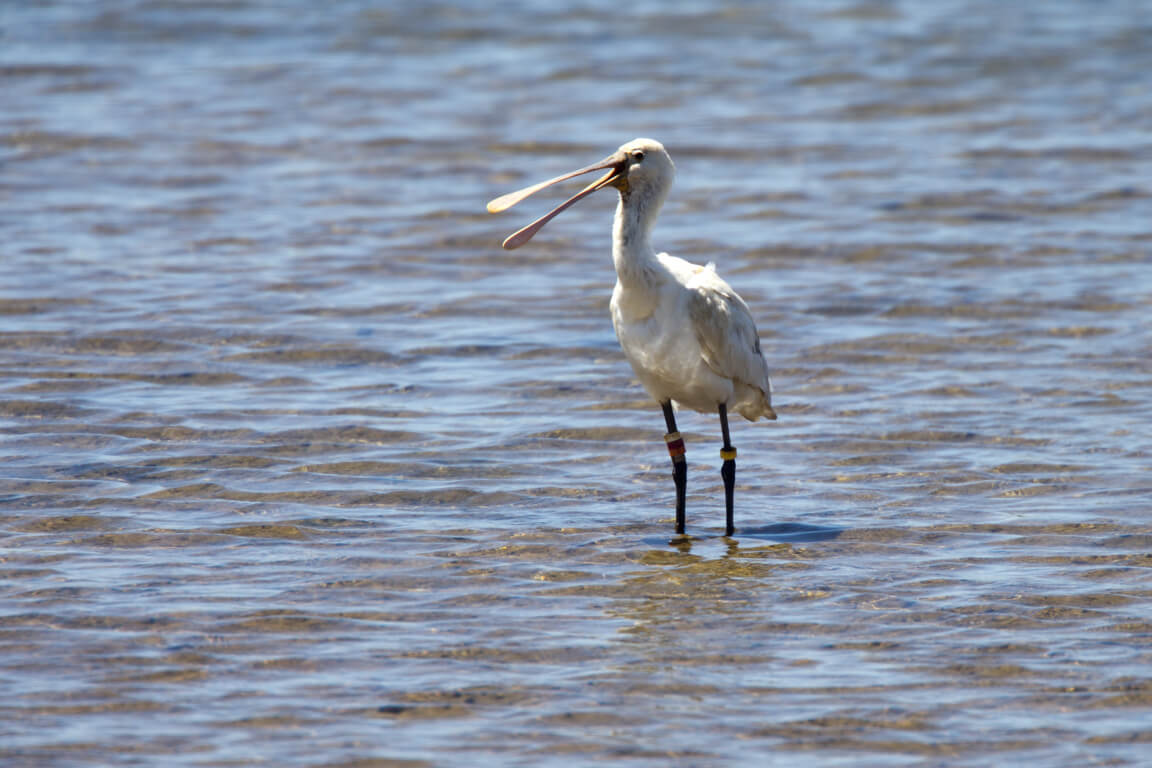 Colour-ringed spoonbill in Ria Formosa natural park